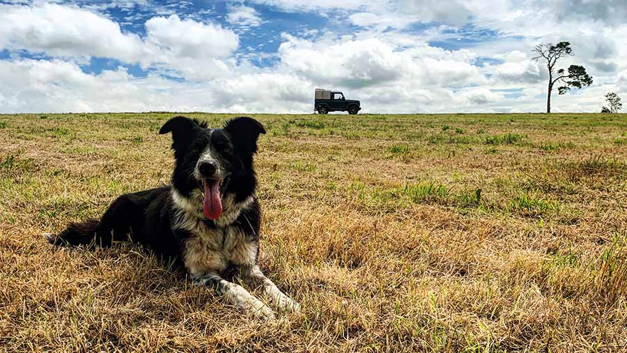 Roo the dog in field with tractor