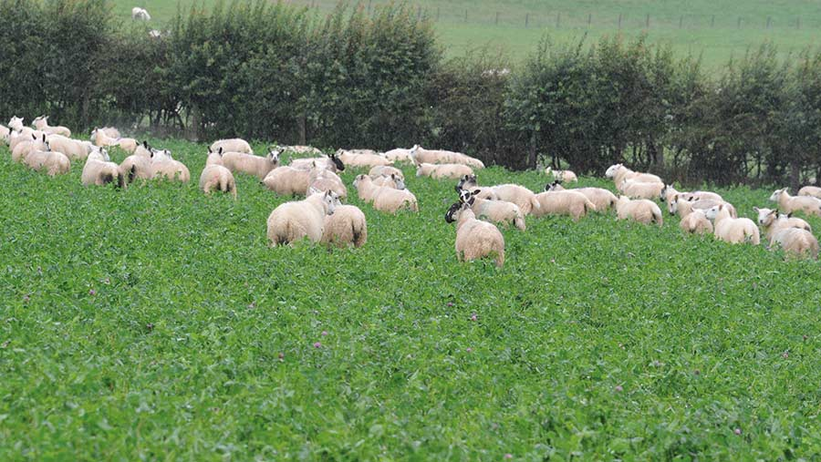 Lambs in red clover