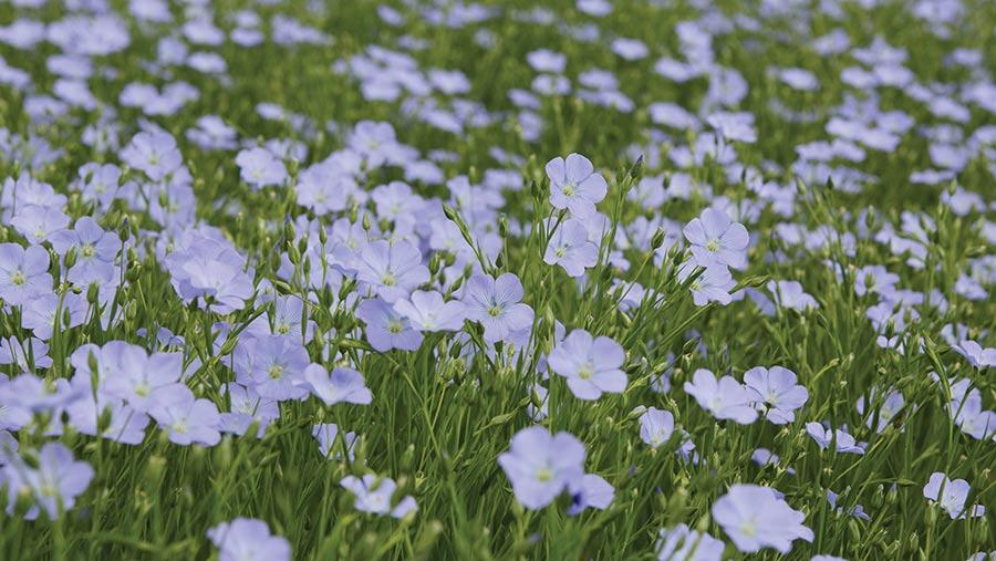 Linseed plants in flower