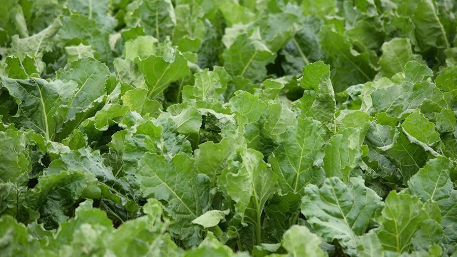 herbicide-tolerant sugar beet