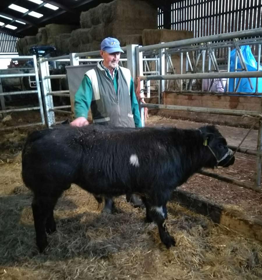 Emyr Wigley with calf
