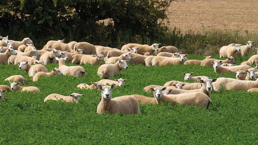 Ewes and lambs in field of lucerne