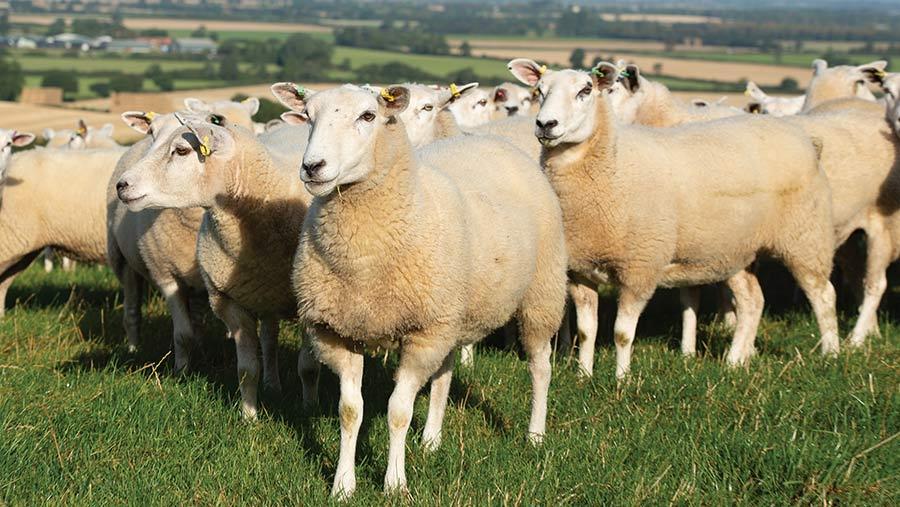 Lincs Flock Makes Five Tweaks For Ewe Lamb Success Farmers Weekly