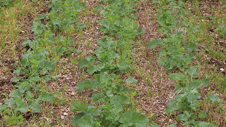 Small OSR plants