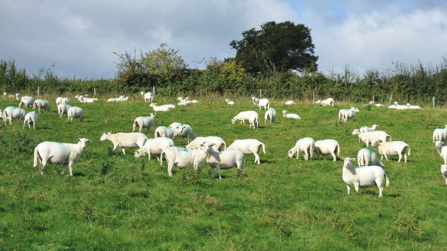 sheep at grass