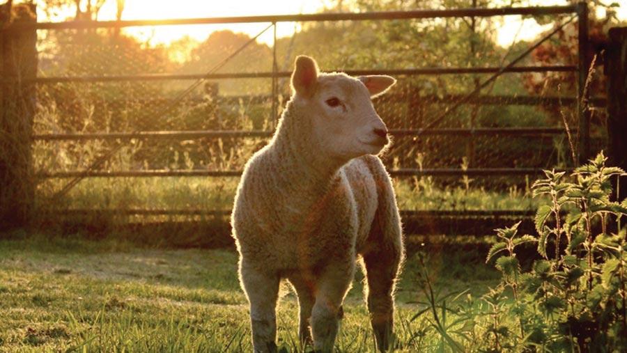 Lamb in field