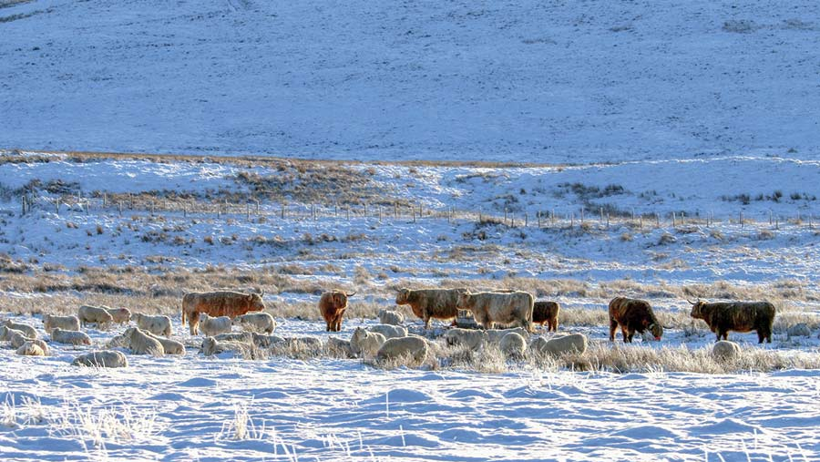 Sheep and cattle in snow