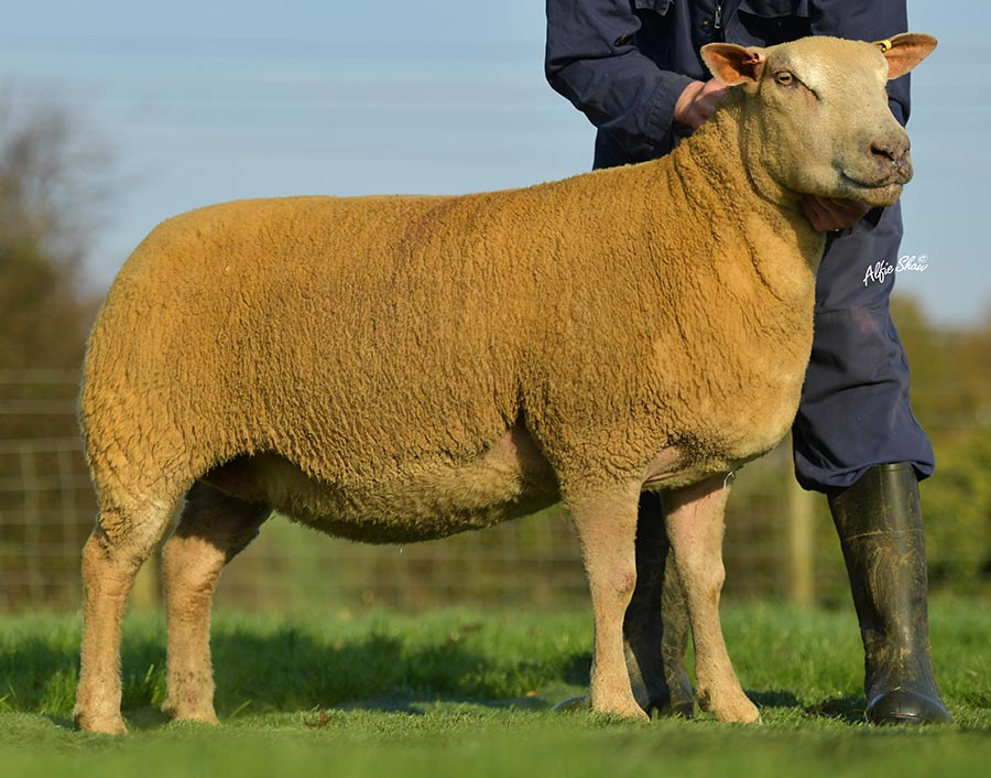 Charollais two-shear ewe