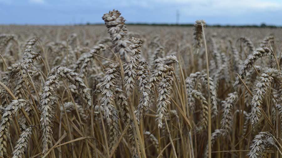Wheat on Tim Lamyman's farm © MAG/David Jones