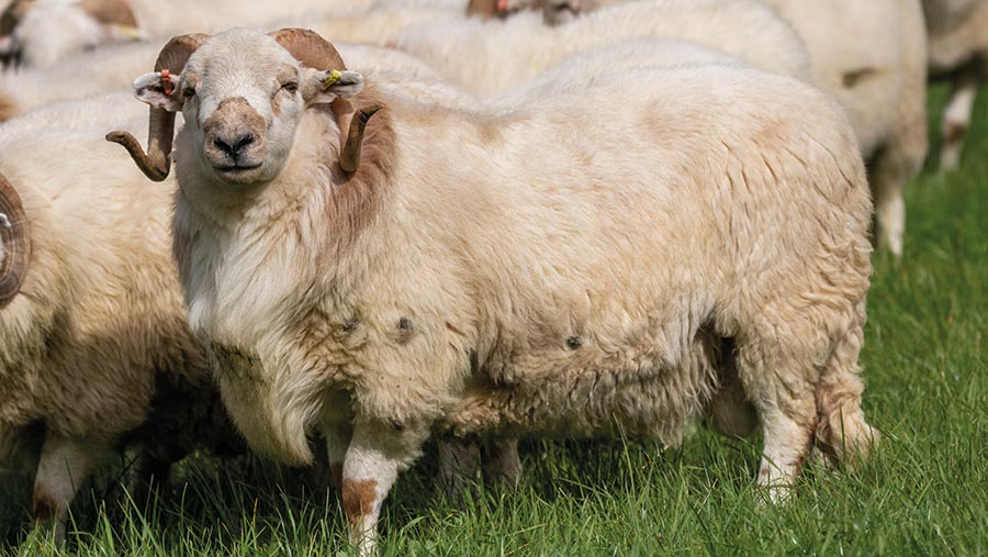 How Welsh Sheep Producers Are Improving Hill Genetics Farmers Weekly