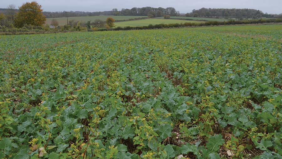 Oilseed rape crop established with some buckwheat