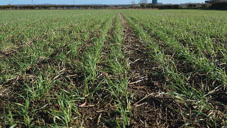 Field of Skyfall wheat crop