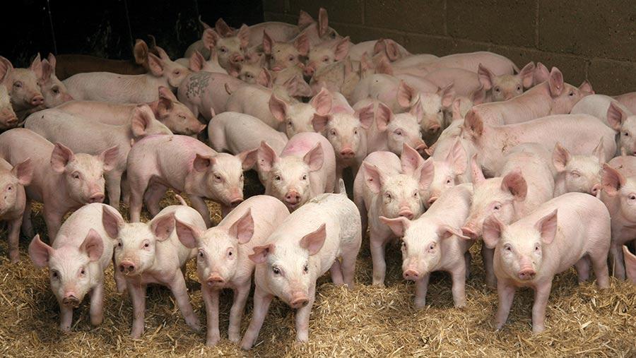 Weaner pigs in straw yard