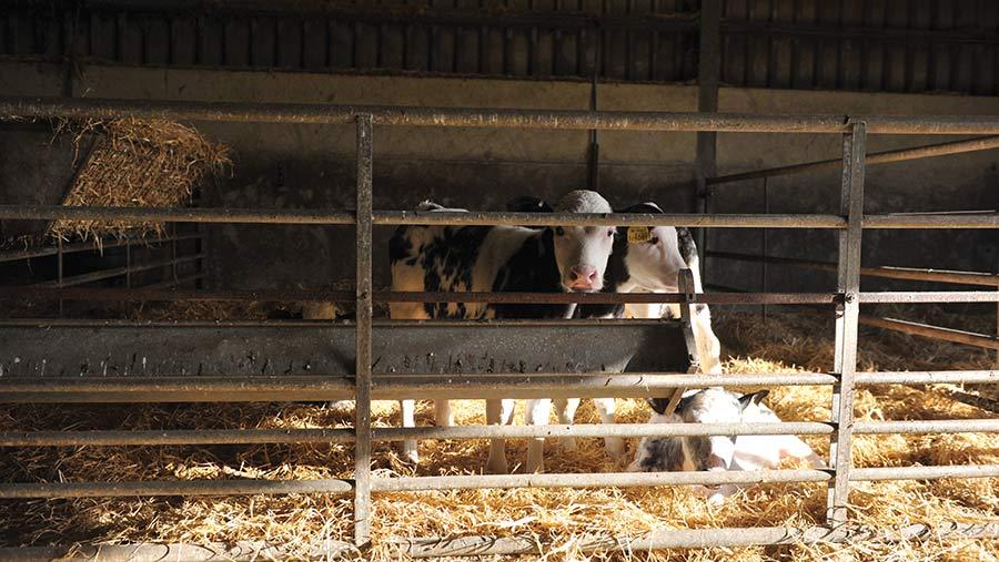 Calves in five calf pens