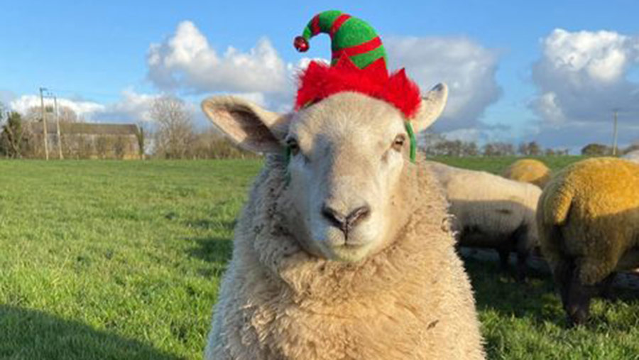 sheep in Christmas hat by Emma Bradshaw