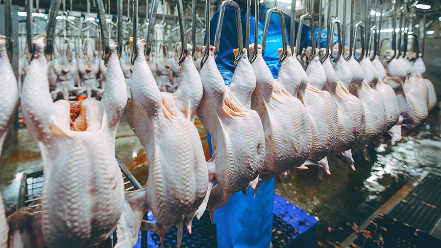 Poultry carcasses hanging in a processor
