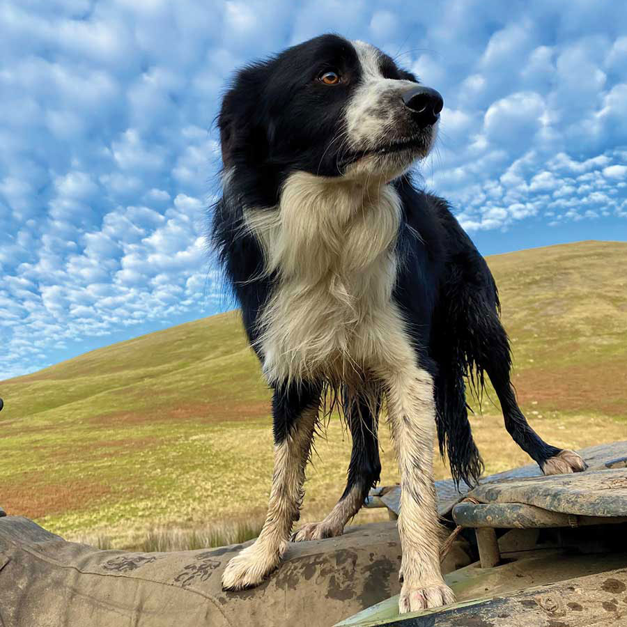 Fred the sheepdog © Mary Brough