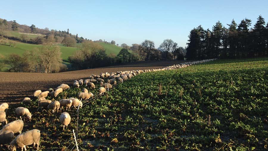 Sheep grazing on fodder beet