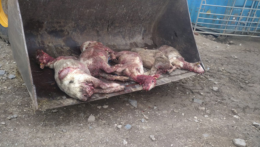 Sheep killed in worrying incident