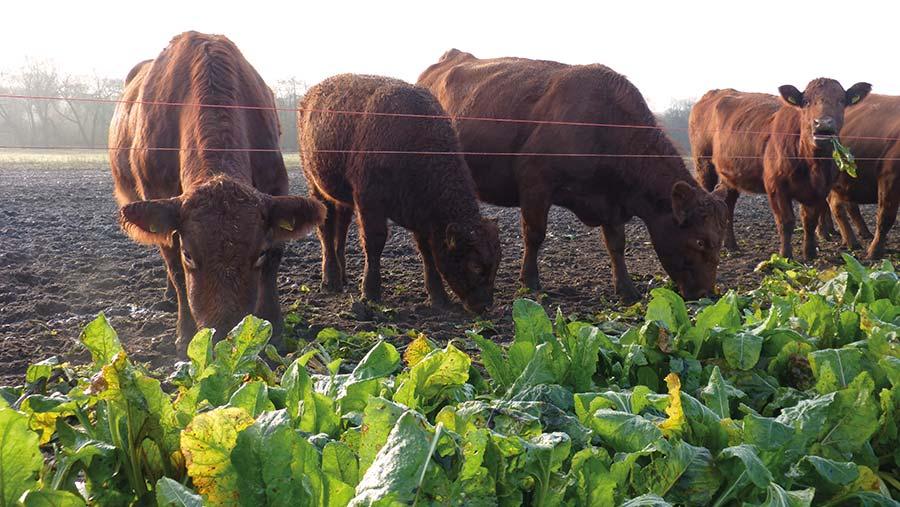 Stabiliser cattle graze fodder beet