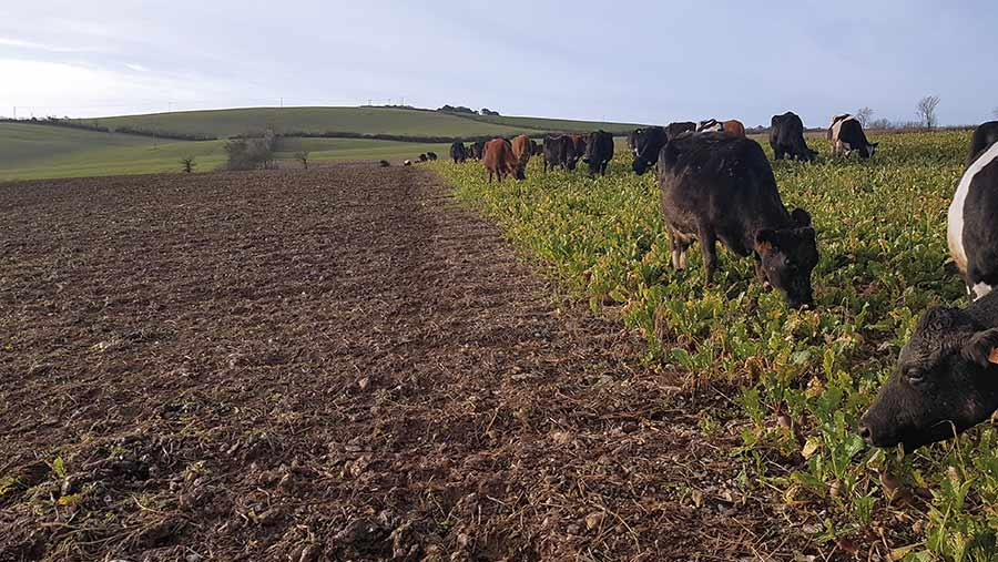 Dry cows on turnips