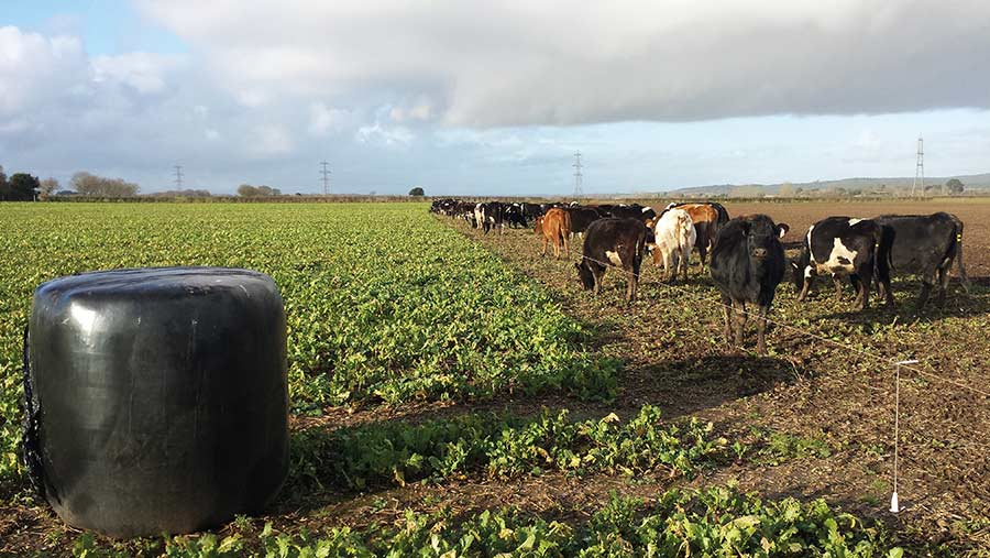 Dry cows on turnips and bales