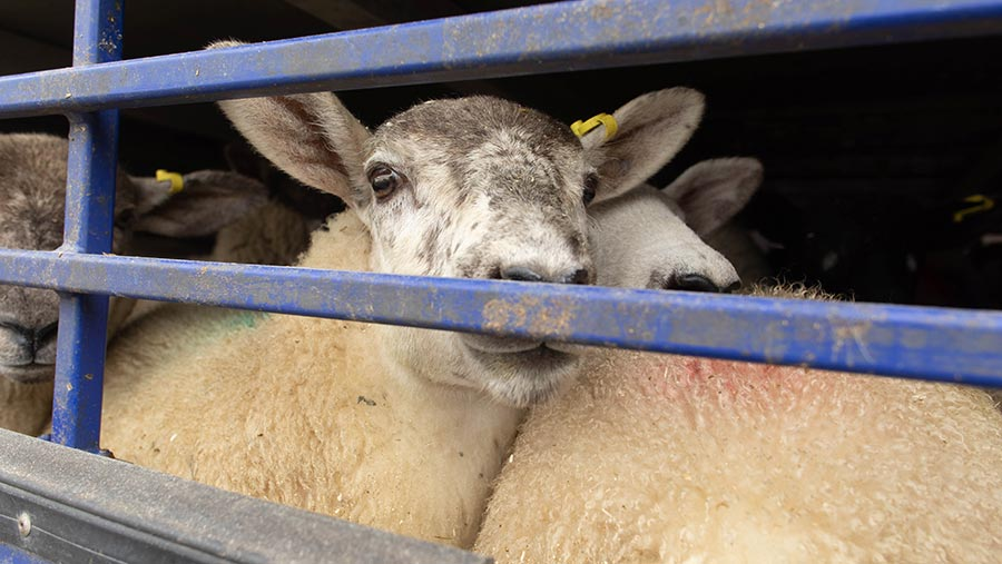 Sheep being transported in a lorry