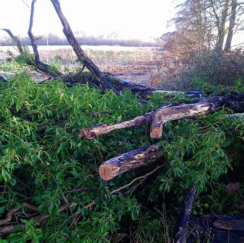 Fallen tree with two branches sawn off