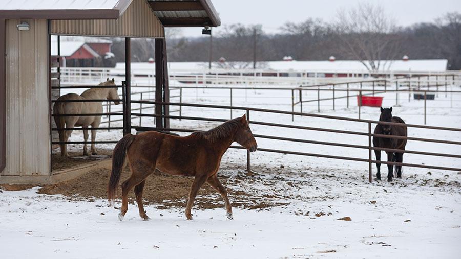 Horses in snow, Texas