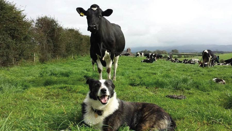 Rabbit the dog sitting in front of cow