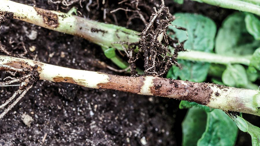Potato with stem canker