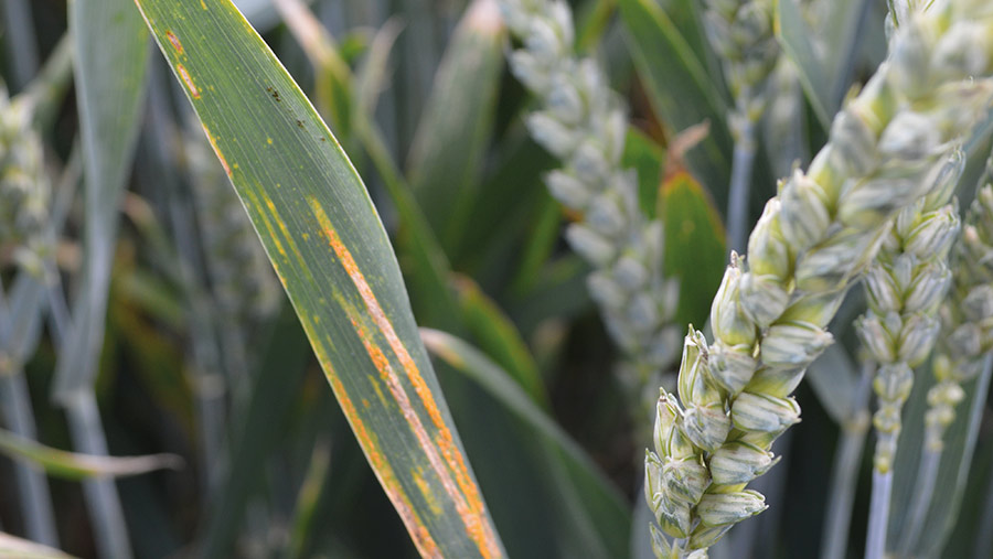 Yellow rust disease in wheat