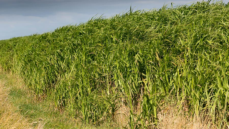 Miscanthus being grown for biomass © Tim Scrivener
