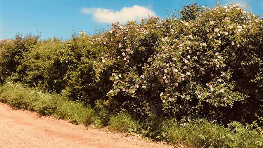 A new hedge in flower