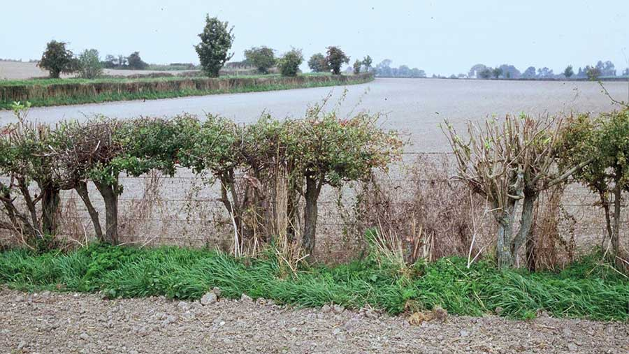 Thin-looking hedge with green top and bare underneath