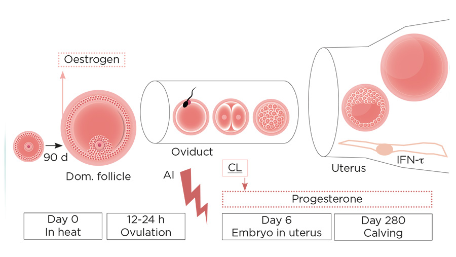 Diagram shows process of ovulation