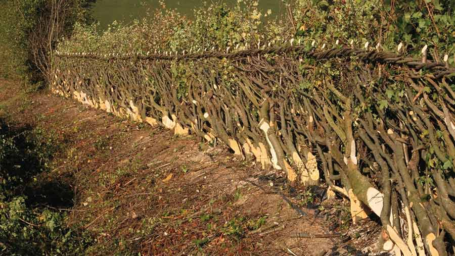 Hedge laid at a 45 degree angle with binding along the top