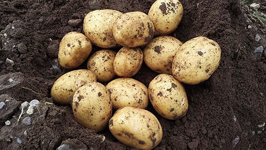Rocky Farms potato crop
