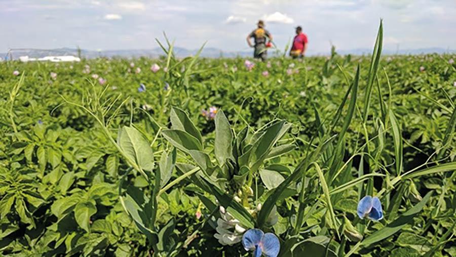Companion crops at Rocky Farms