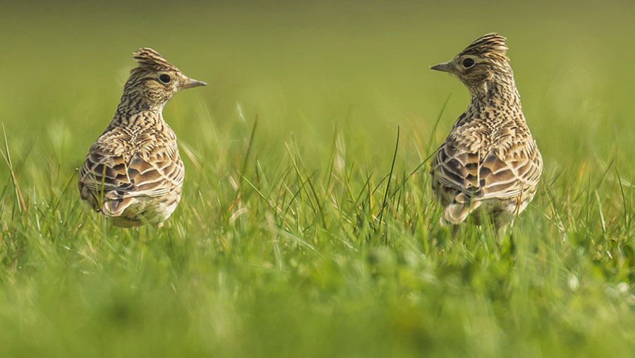 Skylark growth rates were found to be slightly more positive in cull areas © Sander Meertins/Adobe Stock