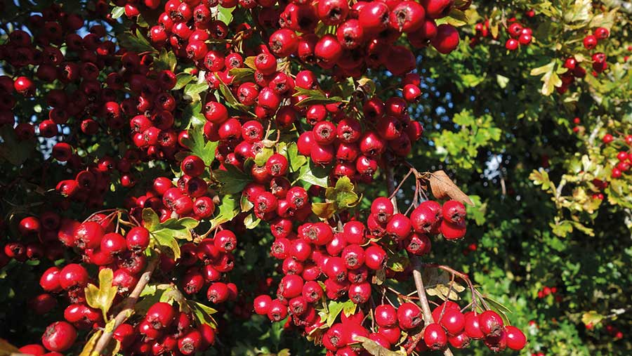 Thick crop of red berries on a hedge
