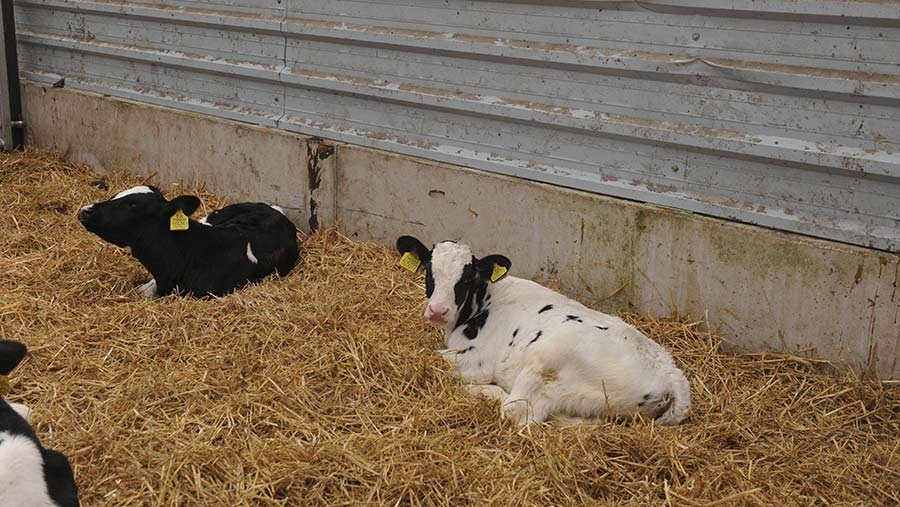 Calf and concrete wall at base of polytunnel