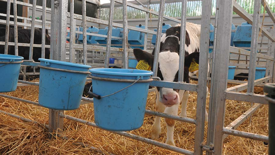 A calf in one of the pens