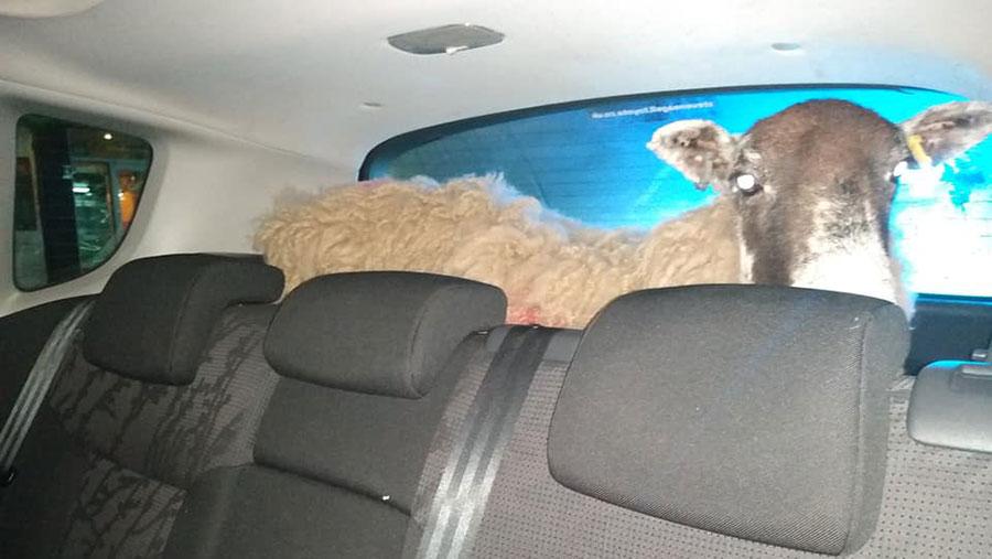 Ewe in car