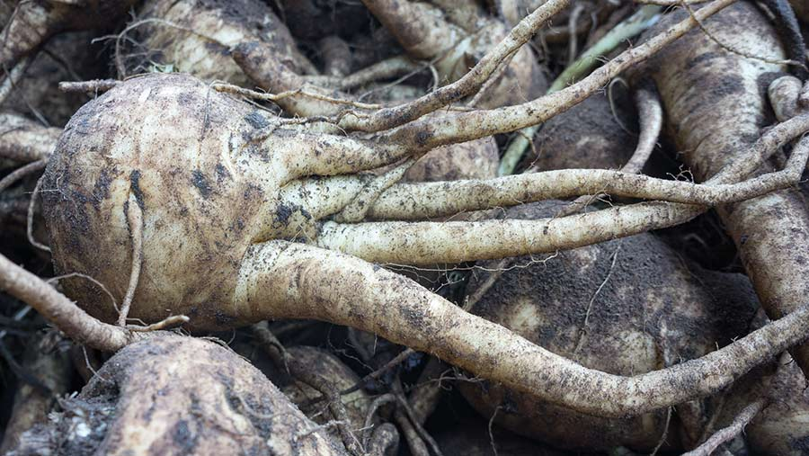 Parsnips with fanging caused by nematodes