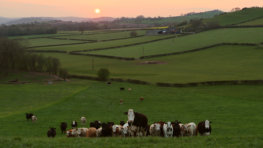 Cattle grazing overlooking the Brecon Beacons