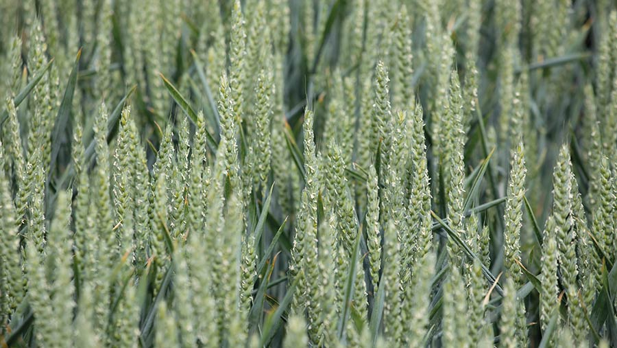 Astronomer wheat variety