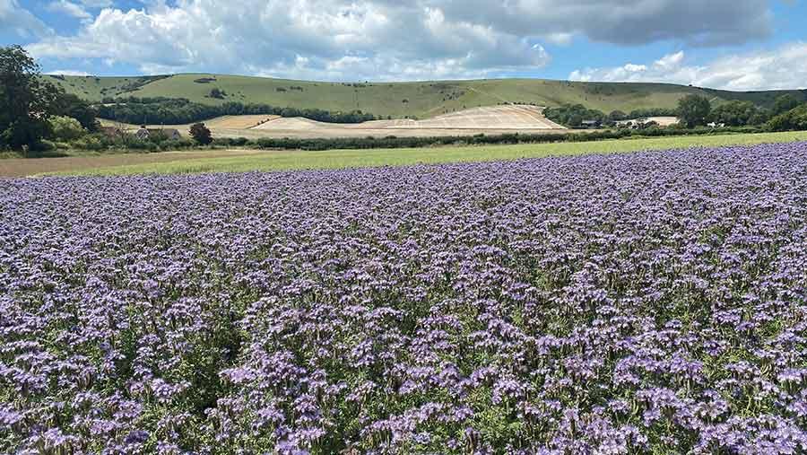 A field of phacelia