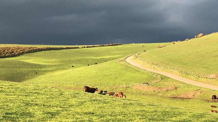 Cattle on downland with storm clouds in the sky