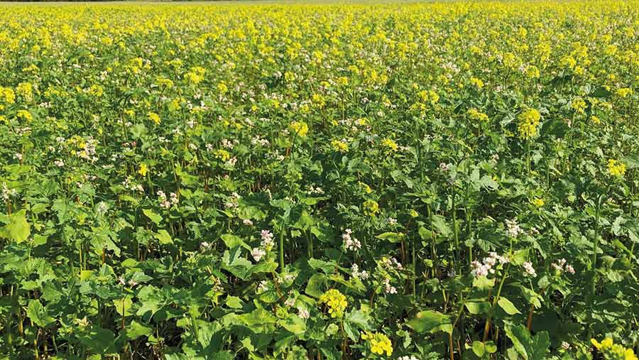 OSR with a companion crop of buckwheat and clover